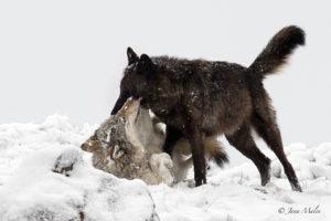 Wölfe hören nie auf zu spielen
